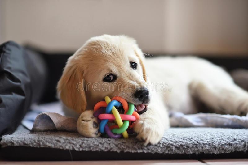 chiot-de-chien-de-golden-retriever-jouant-avec-le-jouet-98514728